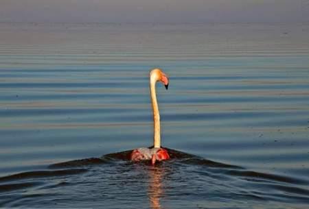 تالاب میانکاله ایستگاه پایانی پرندگان مهاجر