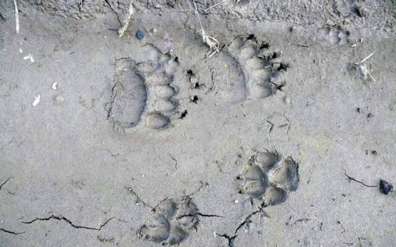 گرگهاترجیح میدهندحیوانات وحشی را شکار کنند