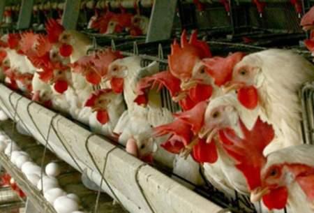 احتمال ایجاد بحران در بازار نوروزی مرغ