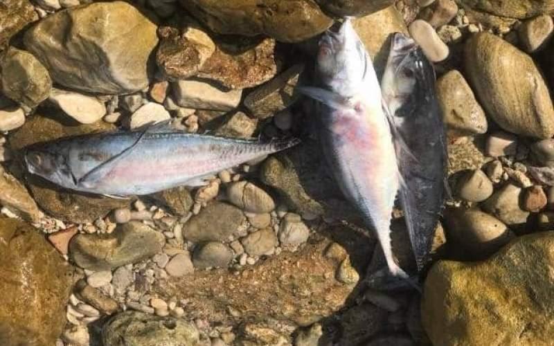 سناریوی تلخ مرگ ماهی ها در خلیج فارس