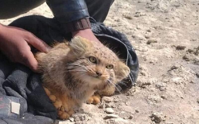 رویت گونه کمیاب گربه پالاس در تالاب گاوخونی