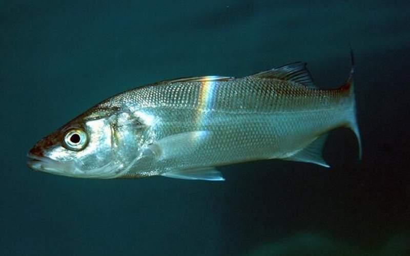 دانشمندان به دنبال پرورش ماهی در ماه