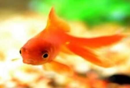 """آیا """"ماهی قرمز"""" ویروس کرونا دارد؟"""
