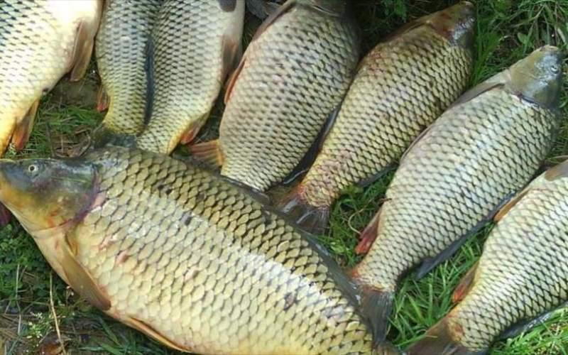 ماهی امسال به سفره شب عید می رسد؟