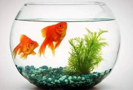 ماهیهای قرمز  ویروس کرونا نمیگیرند