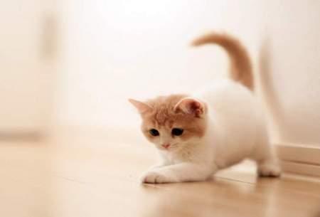 درمان بیماری مزمن کلیه به کمک گربهها