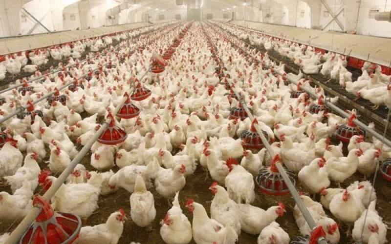 مرغداران خواستار اصلاح فوری قیمت مصوب