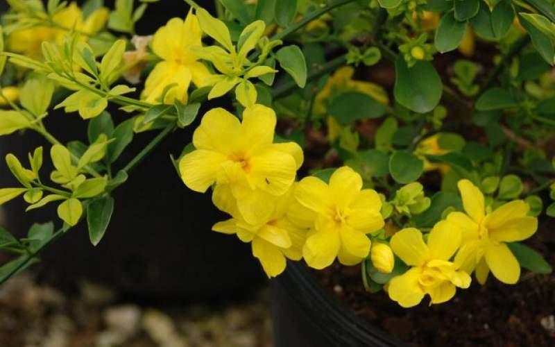 یاس زرد، یک ضدتهوع طبیعی