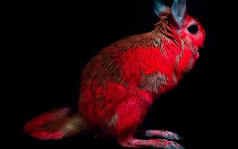 کشف خرگوشهایی که نور صورتی منتشر میکنند
