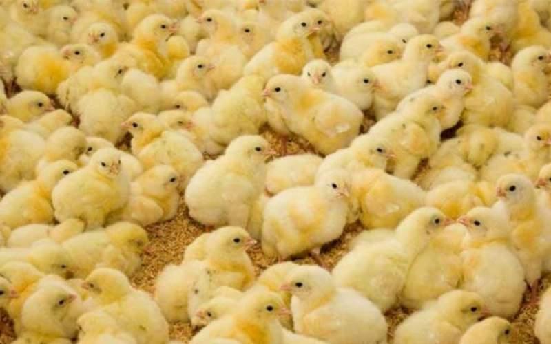 قاچاق جوجه یکروزه، پدیده تازه در بازار مرغ