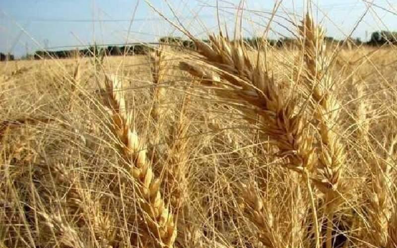 قیمت خریدتضمینی گندم باید افزایش پیدا کند