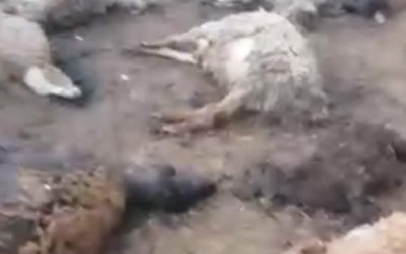 گرگ تیزدندان، ۴۰ راس گوسفند را درید/فیلم