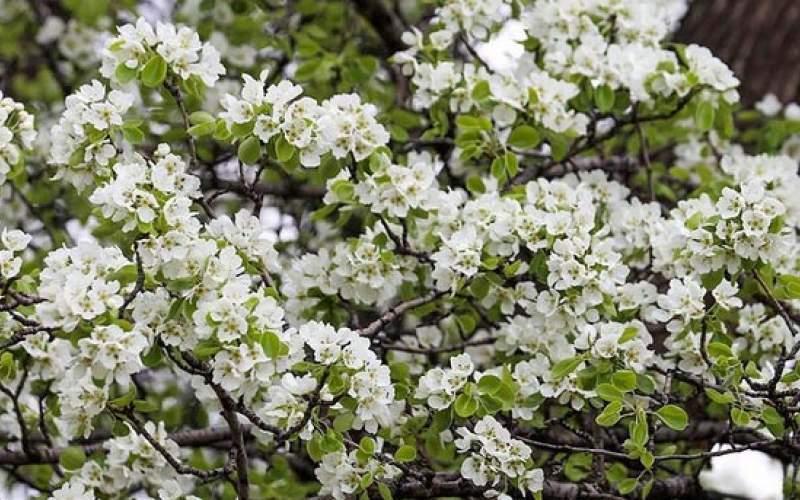 شکوفههای گلابی