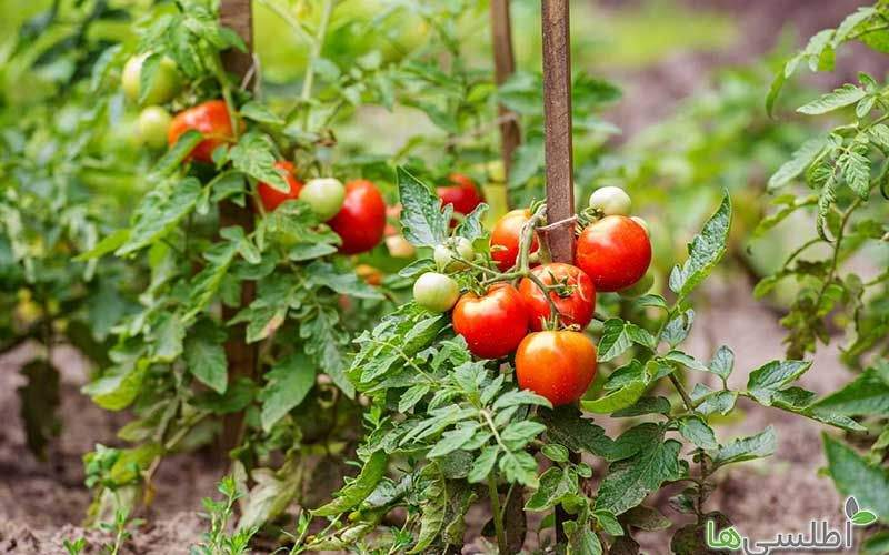روش پرورش بذر صیفی جات تابستانی