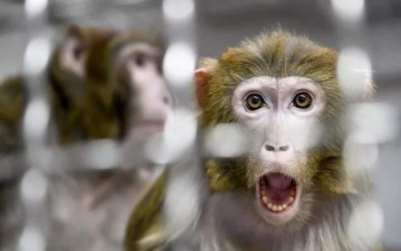 دانشمندان رویان مخلوط انسان-میمون خلق کردند