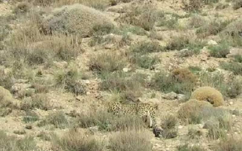 مشاهده یک قلاده پلنگ در ارتفاعات فیروزکوه