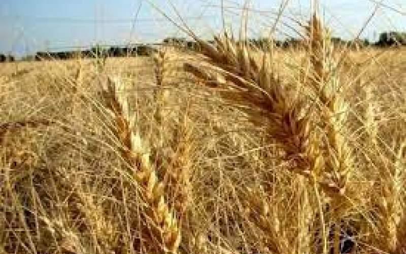 استقبال کشاورزان از گندم ۵ هزار تومانی