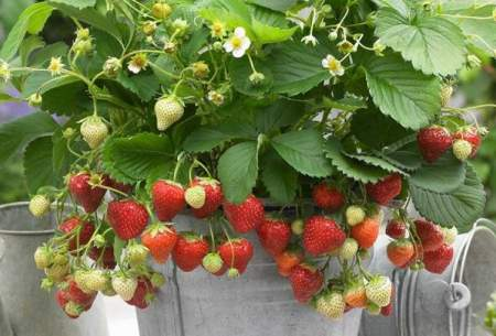 کنترل التهاب با توت فرنگی