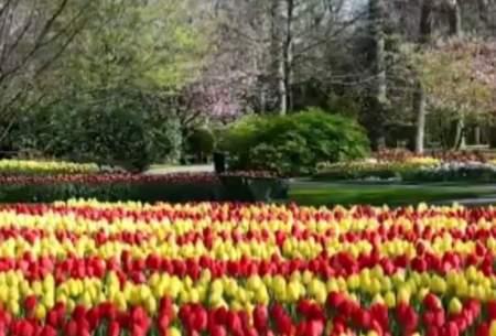 نمایش خیرهکننده رنگها در مزارع هلند