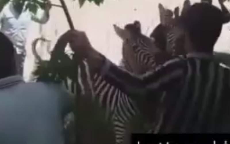 تصاویر فاجعهبار از کتک خوردن گورخر آفریقایی