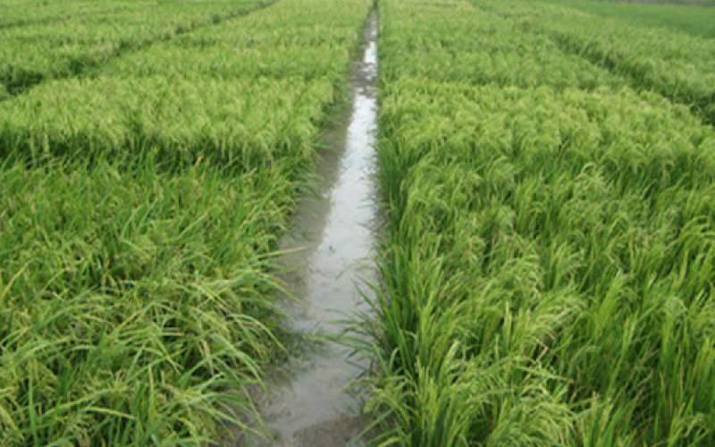 برنجکاری شرق مازندران در سایه تردید کمآبی