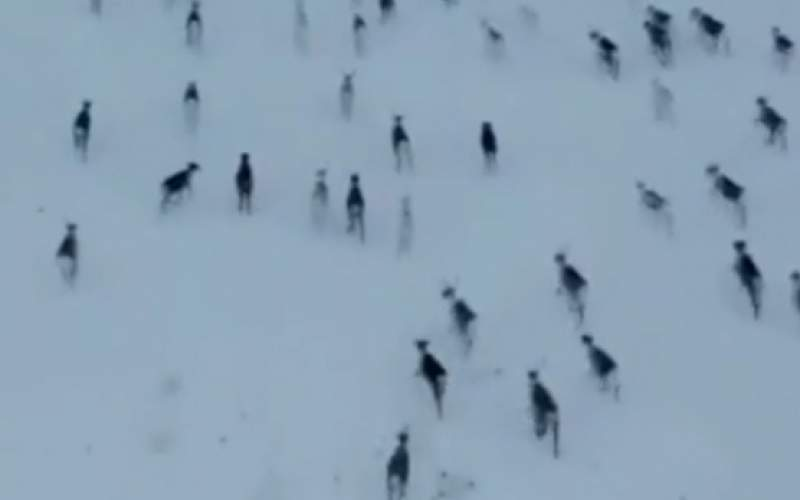 مهاجرت جالب گوزنها در قطب شمال