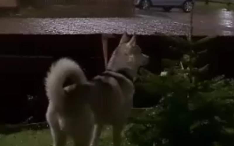 واکنشخندهدار یک سگ درمواجهه با رعد و برق