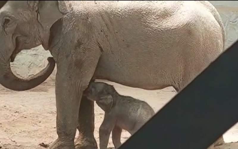بچه فیل و مادرش در قرنطینه هستند