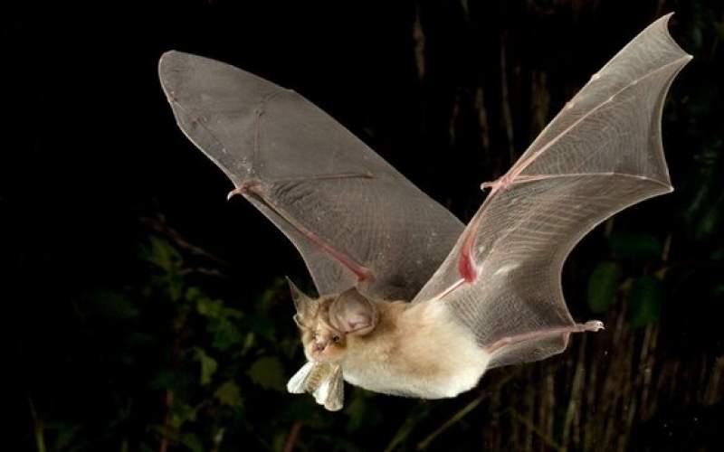 خطر خفاشهای ناقلِ بیماری، بیخ گوش انسان