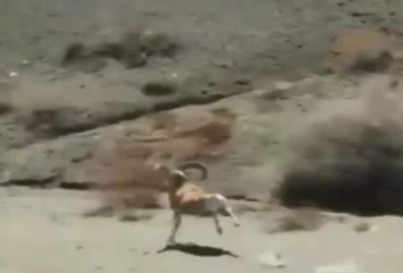 تصویری زیبا و دیدنی از قوچ اِسپیت کوهی
