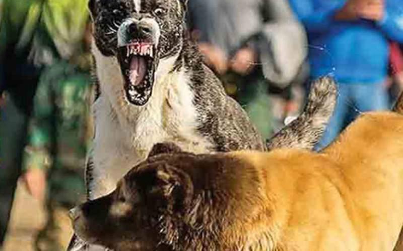 گلادیاتورها؛ جنگ خونین حیوانات با شرطبندی