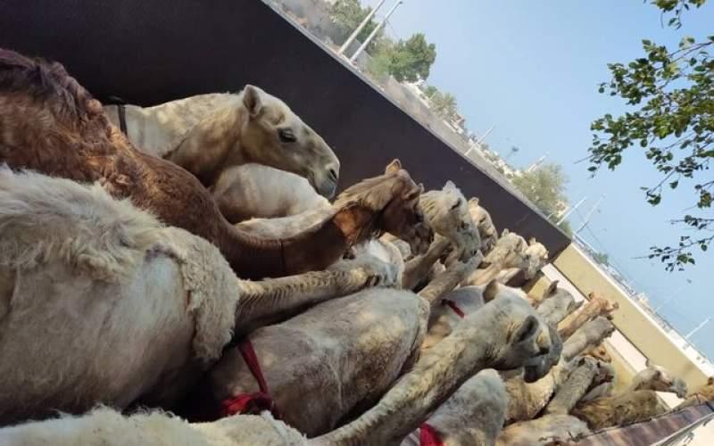 شتران قطری مسافران پرحاشیه گمرک ایران