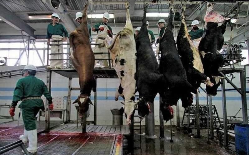 کشتار گاوهای باردار به دلیل کمبود خوراک دام