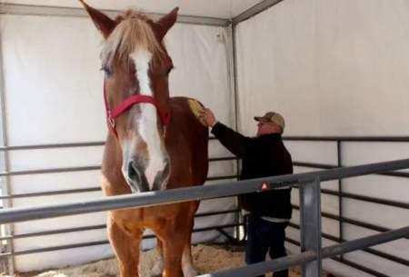 مرگ قدبلندترین اسب جهان در ۲۰ سالگی