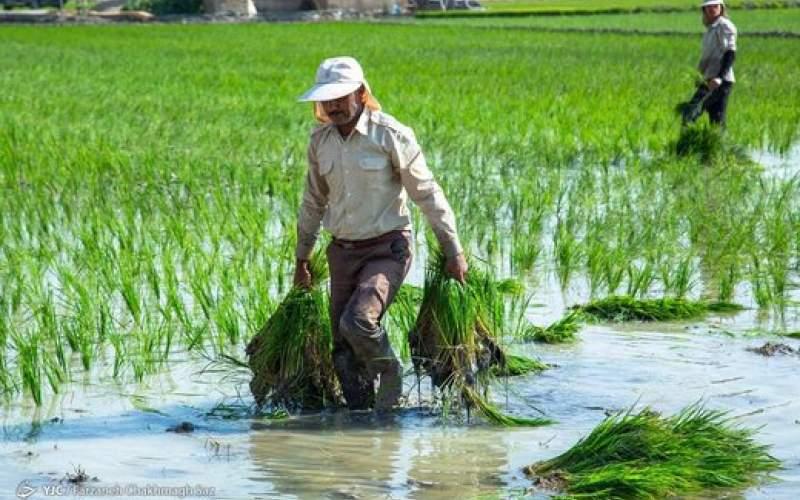 هرایرانی سالانهچند کیلوگرم برنج مصرف میکند
