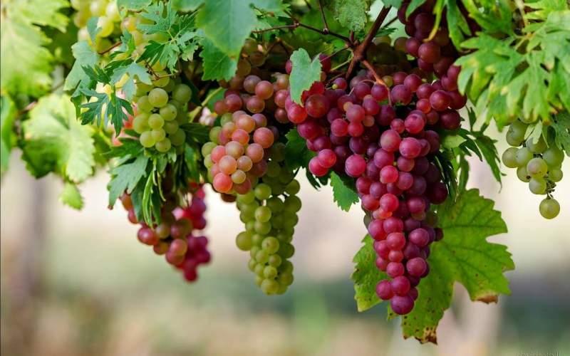 از ۸ مزیت سلامتی انگور غافل نشوید