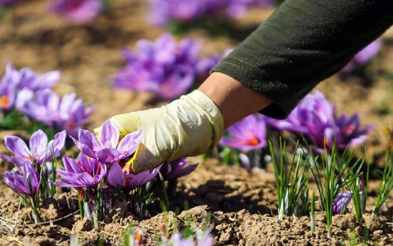 ۷۰ درصد زعفران کاران خرده مالک هستند