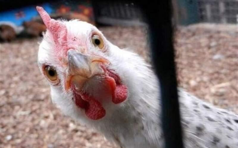 بازار مرغ به کدام سو میرود؟