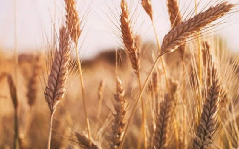 افت ۳۰ درصدی خرید گندم نسبت به سال قبل