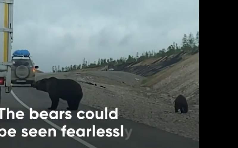 باجگیری خرسها از رانندگان در جاده/فیلم
