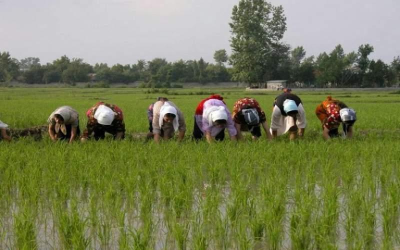 احتمال افزایش عجیب قیمت برنج