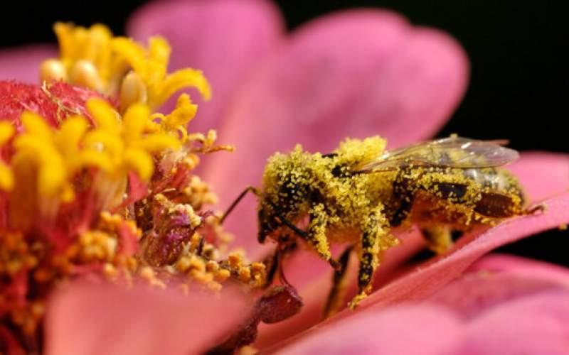 دوپینگ زنبورهای کارگر با کافئین!