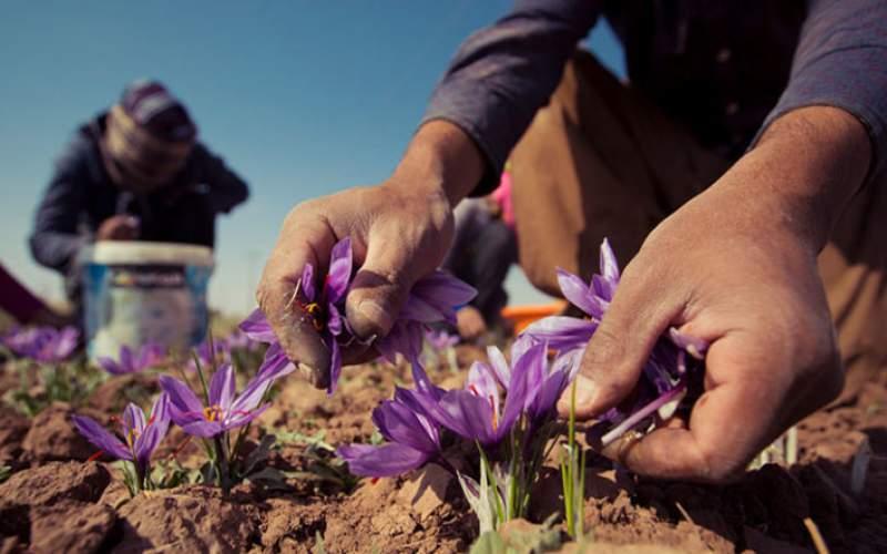کاهش تولید زعفران به دلیل خشکسالی!