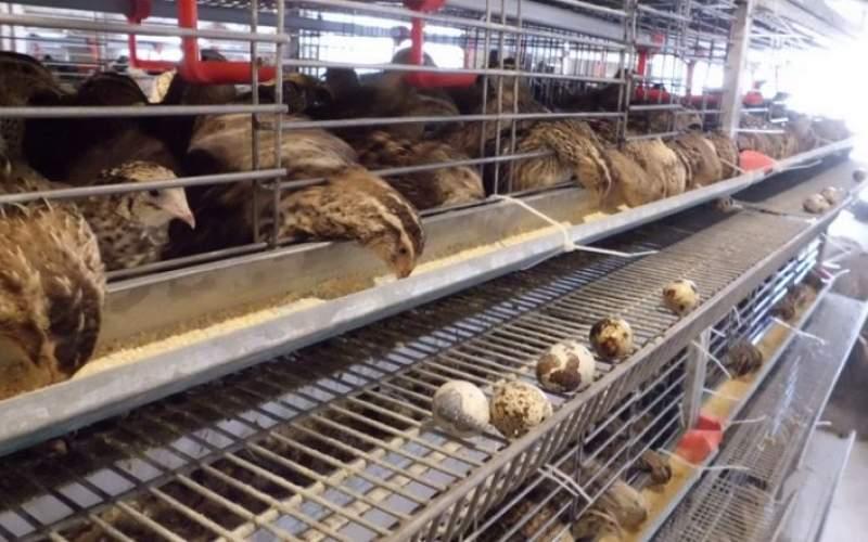 یک کیلو بلدرچین همقیمت ۵ کیلو مرغ!