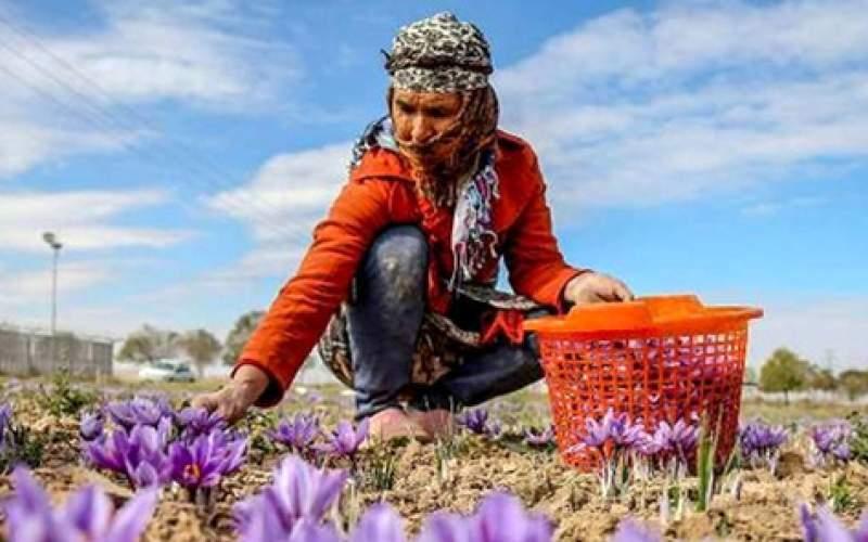افزایش ۲۱.۵ درصدی صادرات زعفران