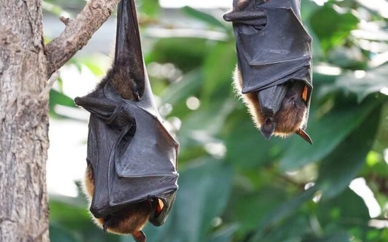 ابداع درمانجدید کرونا با الهام از خفاشها