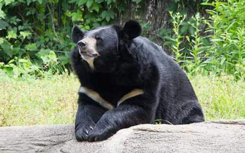 نادیا، خرس سیاه کمیاب بلوچی تلف شد
