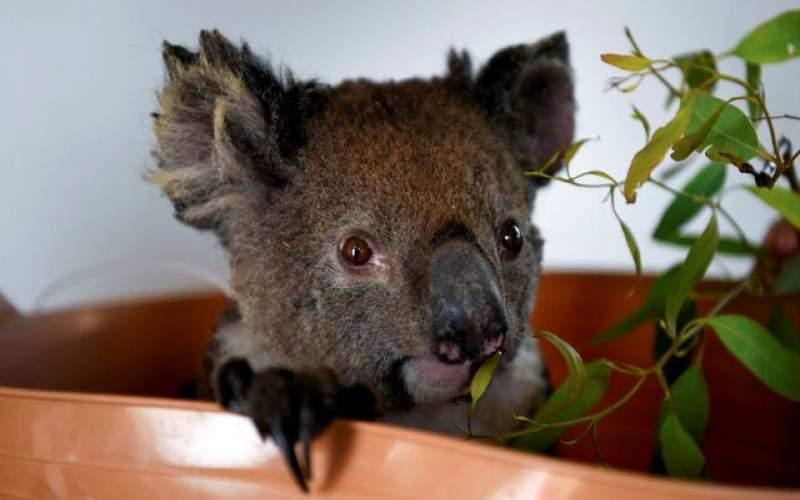 کاهش ۳۰ درصدی جمعیت کوالاها در استرالیا