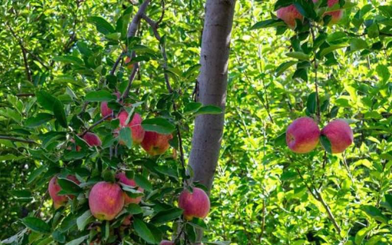 برداشت سیب زنوز
