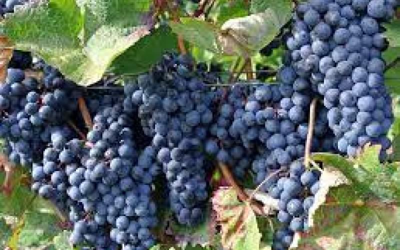 برداشت انگور سیاه در روستای نی مریوان